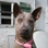 PAPANI - Thai Ridgeback Dog