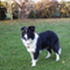 Orleane - Border Collie