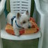 Penny - West Highland White Terrier