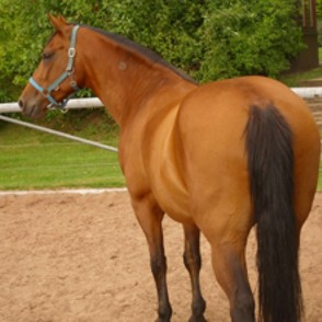 Quarter Horse, Paint Horse Mix