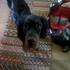 Honey - Gordon Setter