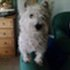Rambo - West Highland White Terrier
