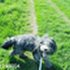 Fossy - Bearded Collie