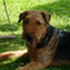 Yano - Airedale Terrier