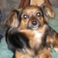 Maxi ( Chihuahua - Yorkshire Terrier Mischling )