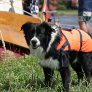Border Collie - Australian Shepherd Mischling