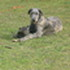Jeannie - Irish Wolfhound