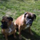 Mary ( Deutscher Boxer )