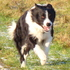 Leihhund Nr 1 - Border Collie