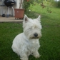 Quincy ( West Highland White Terrier )
