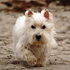 Eddy - West Highland White Terrier