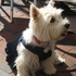 Pauline - West Highland White Terrier