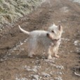 gini - West Highland White Terrier