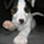 Spike - Parson Russell Terrier