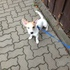 Sky - Jack Russell Terrier - Chihuahua Mischling