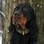 Hunter - Gordon Setter