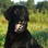 Baaron - Flat Coated Retriever