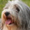 Lilly - Bearded Collie