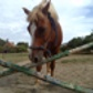 Billy ( Haflinger Mix )