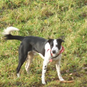 Border Collie - Border Collie Mischling