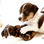 Ivy - Jack Russell Terrier - Parson Russell Terrier Mischling