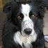 Buddy - Border Collie