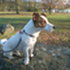 Snoopy - Jack Russell Terrier - Chihuahua Mischling