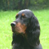 Minnie od. Fiftie - Gordon Setter