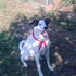 Pudlich - Dalmatiner - Jack Russell Terrier Mischling