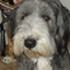 Addy    H.d.T.  7.11.2011 - Bearded Collie