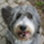Andy - Bearded Collie