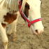 Bossier - Quarter Horse, Paint Horse - Appaloosa Mix