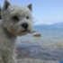 Snoopy - West Highland White Terrier