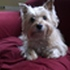 Cora-Lee - Cairn Terrier - West Highland White Terrier Mischling