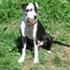 Chica - American Staffordshire Terrier - Dogo Argentino Mischling