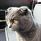 Poppy ( Scottish Fold Shorthair )