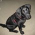 Sammy - Labrador Retriever
