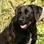 Wendy - Labrador Retriever - Deutsch Kurzhaar Mischling