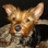 (Marsh)Mallow - Yorkshire Terrier - Boston Terrier Mischling