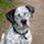 charly - English Pointer - Siberian Husky Mischling
