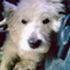 arry - West Highland White Terrier