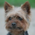 Nicky - Yorkshire Terrier