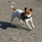 Jack Russell Terrier in NRW
