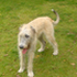 Jette - Irish Wolfhound