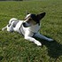 Percy - Jack Russell Terrier - Papillon Mischling