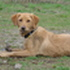 Lotte - Golden Retriever - Labrador Retriever Mischling