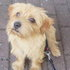 Kiwi - Norfolk Terrier