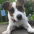 Trixie ♥ - Jack Russell Terrier