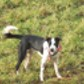 Merlin ( Border Collie - Border Collie Mischling )