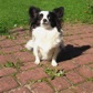 Pucca ( Papillon - Chihuahua Mischling )